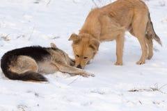 在雪的两条狗在冬天 图库摄影