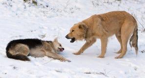 在雪的两条狗在冬天 库存图片