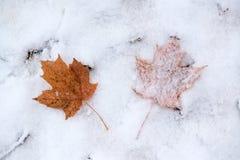 在雪的两片槭树叶子 库存图片