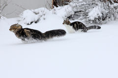 在雪的二只猫 免版税库存图片