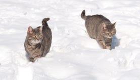 在雪的二只蓝色虎斑猫 库存照片