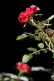 在雪的二朵玫瑰在晚上 免版税图库摄影