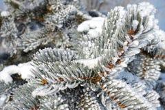 在雪的云杉的分支 库存照片