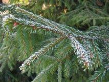 在雪的云杉的分支 库存图片
