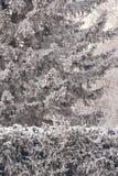 在雪的云杉 白色霜绿色分支 33c 1月横向俄国温度ural冬天 免版税库存照片