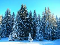 在雪的云杉 免版税库存图片