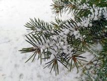 在雪的云杉 库存照片