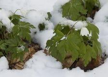 在雪的五叶银莲花 免版税图库摄影