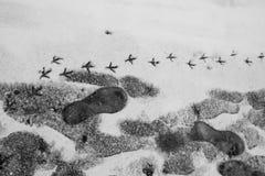 在雪的人和鸟脚印 免版税图库摄影
