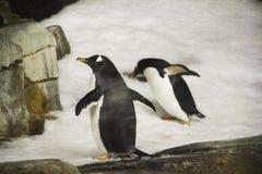 在雪的企鹅在蒙特利尔Biodome在蒙特利尔魁北克加拿大 库存照片