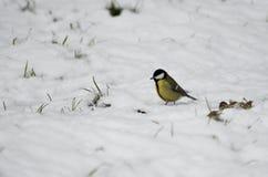 在雪的伟大的山雀北美山雀 免版税库存图片