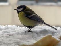 在雪的伟大的山雀 库存照片