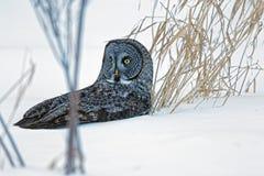 在雪的伟大的灰色猫头鹰 库存图片