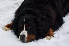 在雪的伯尔尼的山狗 免版税库存图片
