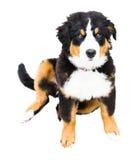 在雪的伯尔尼的山狗 图库摄影
