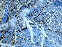 在雪的俄国桦树 免版税库存图片