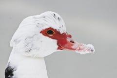在雪的俄国鸭子 库存照片
