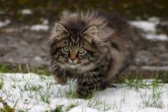 在雪的偷偷靠近的野生小猫 免版税库存图片