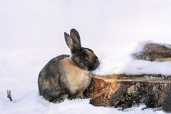 在雪的兔子在森林里 库存图片
