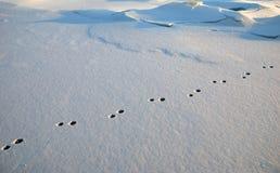 在雪的兔子脚印 免版税图库摄影