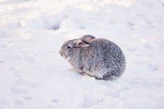 在雪的兔子 库存照片