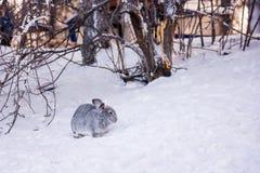 在雪的兔子 免版税库存图片