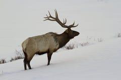 在雪的公牛麋 免版税图库摄影