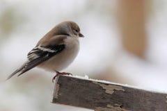 在雪的公金翅雀 库存图片