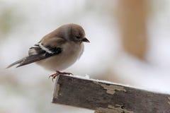在雪的公金翅雀 免版税库存照片