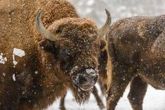 在雪的冬天期间欧洲北美野牛画象  免版税库存照片