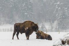 在雪的冬天期间欧洲北美野牛 图库摄影