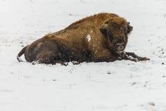 在雪的冬天期间欧洲北美野牛 库存图片