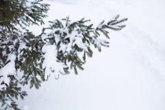 在雪的冷杉分行 免版税图库摄影
