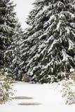 在雪的冷杉木 库存照片