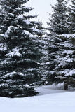 在雪的冷杉木 免版税库存照片