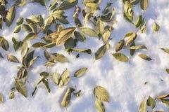 在雪的凋枯的榆木叶子 免版税库存照片