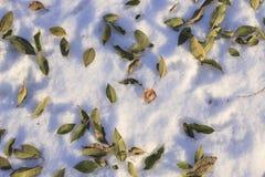 在雪的凋枯的榆木叶子 免版税库存图片