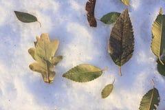 在雪的凋枯的榆木和橡木叶子 免版税库存照片