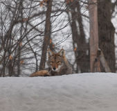 在雪的加拿大土狼 库存照片