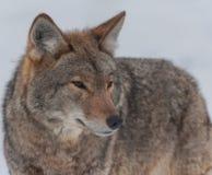 在雪的加拿大土狼 免版税库存图片