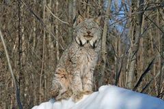 在雪的加拿大天猫座 免版税库存照片