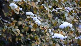 在雪的加拿大桦叶子 股票录像