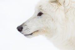 在雪的北冰的狼 库存照片