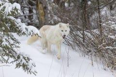 在雪的北冰的狼 库存图片