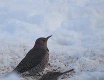 在雪的北忽悠啄木鸟 库存图片