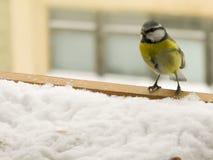 在雪的北美山雀 库存图片