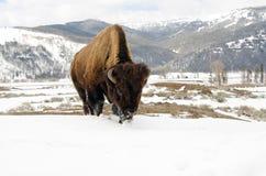 在雪的北美野牛。黄石国家公园 免版税库存图片