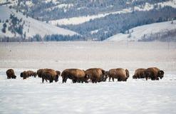 在雪的北美野牛牧群,全部Teton国家公园 免版税库存照片