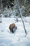 在雪的北美野牛,黄石 库存图片