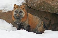 在雪的十字架Fox 免版税库存图片